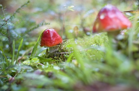 Close-up picture of a Amanita poisonous mushroom in nature photo