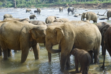 orphanage: Elephants from the Pinnewala Elephant Orphanage enjoy their daily bath at the local river.