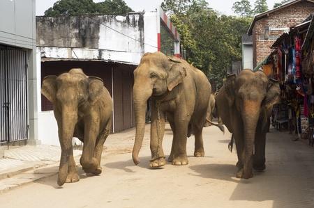 sri lanka: Elephants walking on the srtreet at Elephant Orphanage in Pinnawela, Sri Lanka