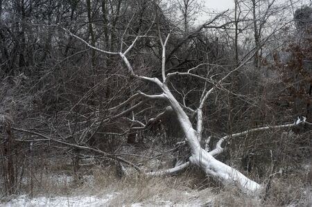 Old tree lieing in winter forest covered by snow photo