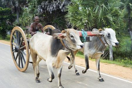 india cow: Sri lankan man driving bullock cart on the road Editorial