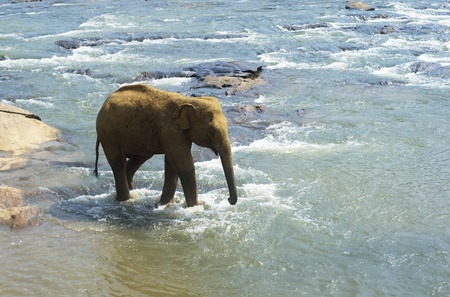 southern sri lanka: Elephant from the Pinnewala Elephant Orphanage in the river