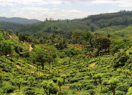 Panorama of tea plantaition in Sri Lanka in the sunshine day photo