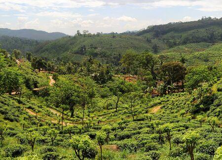 Panorama of tea plantaition in Sri Lanka in the sunshine day photo