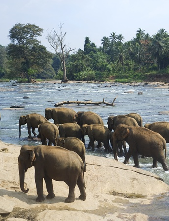 southern sri lanka: Elephants from the Pinnewala Elephant Orphanage enjoy their daily bath at the local river.