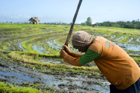 machete: Bali, Indonesia - April 19,2011:  Local people working on the rice field. Rice, to the Balinese, is more than just the staple food; it is an integral part of the Balinese culture.
