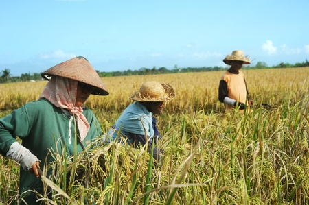 Bali, Indonesia - April 19,2011:  Local people working on the rice field. Rice, to the Balinese, is more than just the staple food; it is an integral part of the Balinese culture.