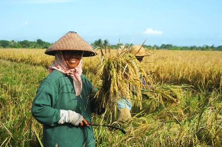 Bali, Indonesia - April 19,2011:  Local women working on the rice field. Rice, to the Balinese, is more than just the staple food; it is an integral part of the Balinese culture.