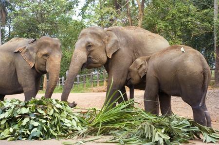 orphanage: Elephant family at Elephant Orphanage in Pinnawela, Sri Lanka Stock Photo