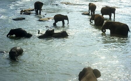 Elephants from the Pinnewala Elephant Orphanage enjoy their daily bath at the local river. photo
