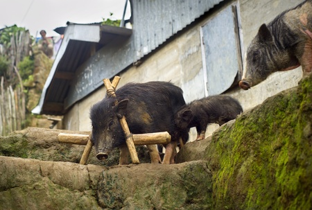 Three black pig in small Philippines village photo