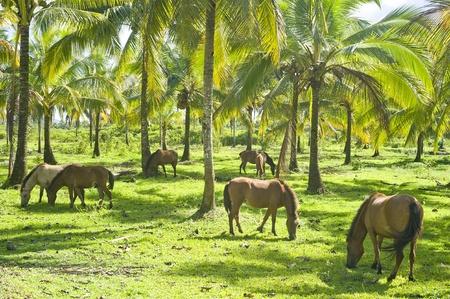 land animals: Herd of horses grazing under the palms. Philippines Stock Photo