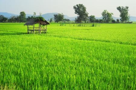 Campo di riso al tramonto in Thailandia Archivio Fotografico