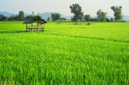 field of thai: Rice field at sunset in Thailand Stock Photo