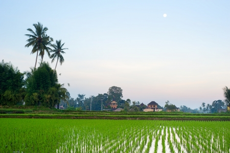 Rice field and traditional village at dusk on Bali island, Indonesia photo