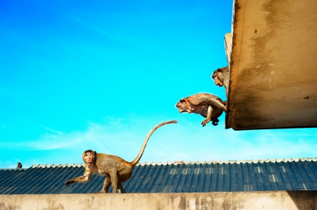 flying monkey: Monkyes jumping on the roof of the building in Lopburi, Thailand