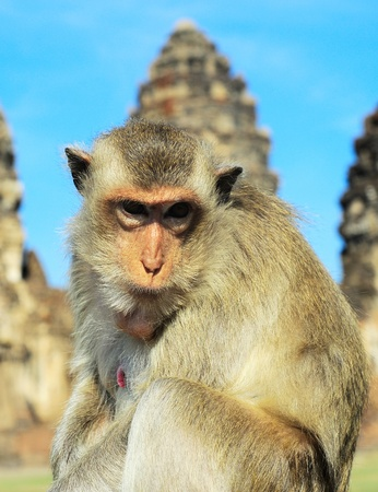 Closeup portrait of a monkey in front of Prang Sam Yot, the Khmer temple in Lopburi photo