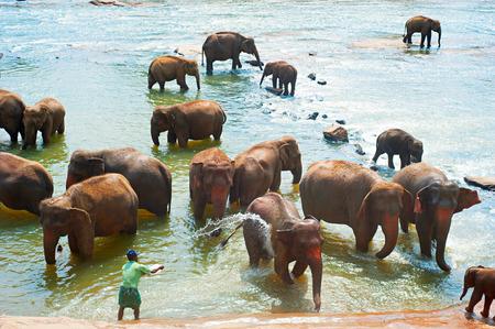 orphanage: PINNAWELA, SRI LANKA - FEBRUARY 18, 2011: Elephants from the Pinnawela Elephant Orphanage in Pinnawela, Sri Lanka. Pinnawela Elephant Orphanage is an orphanage ground for wild elephants