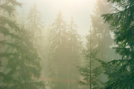 Pine trees in the forest in a morning mist. Carpathians mountains