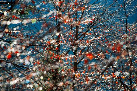 gotas de agua: Gotas de lluvia en una ramas de los árboles en el día sunhine.