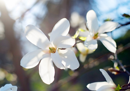 white blossom: White magnolia tree flowers in a spring blossom