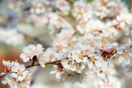 apricot tree: Blossoming  apricot tree branch in the spring
