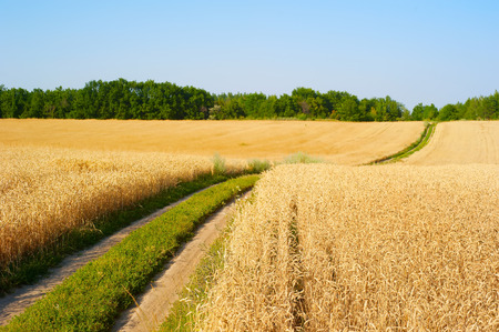 foreground focus: Road in a wheat field. Focus on foreground. Ukraine