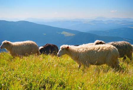 Herd of sheeps in the Carpathians mountains