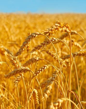 cultivo de trigo: Campo de trigo listo para la cosecha al atardecer. Ucrania Foto de archivo