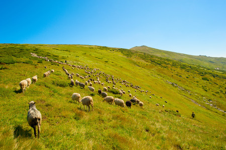 Shepherds with a big herd of sheeps on top of mountains  Banco de Imagens