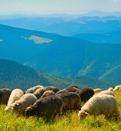 Herd of sheeps grazing  on top of mountains in
