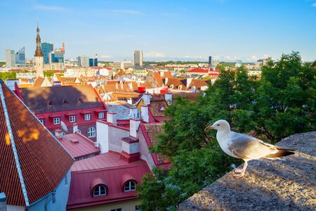 Seagull in front of an Old Town of Tallinn, Estonia