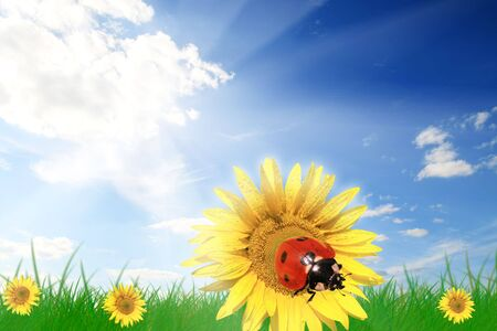 Ladybird on a yellow sunflower photo