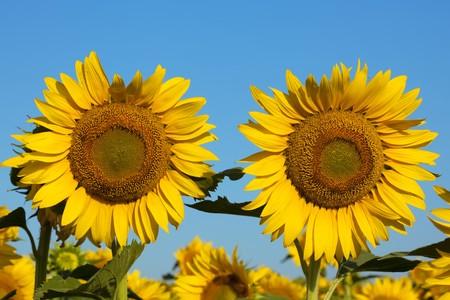bloomy: Pair of beauty sunflowers. Summer bloomy meadow Stock Photo