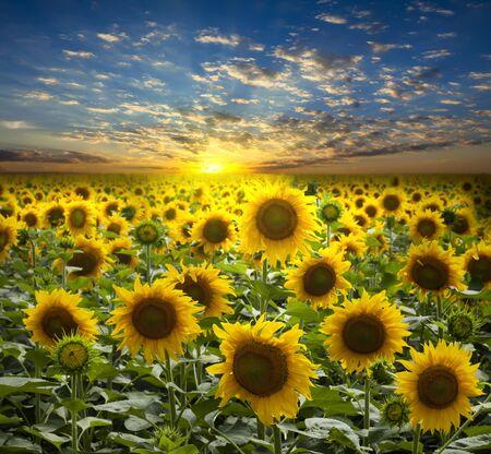 Campo de girasoles floreados sobre un fondo de sunset hermoso  Foto de archivo - 7593646