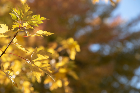 Fall tree leaves. Autumn copy space backdrop. Selective focus bokeh background.