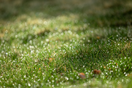 Natural light spring green grass background with water dew droplets. Selective focus with background blur. Copy space.