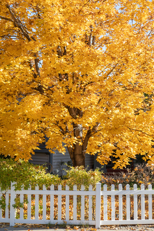 Bright yellow fall tree leaves background in front of home with white picket fence. Imagens