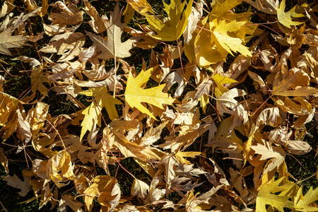 Yellow fall leaves texture background. Imagens