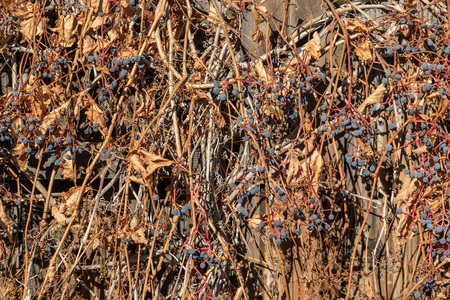 Dried blue berries on bush during fall.