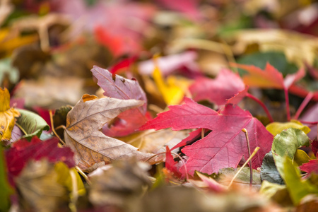 Closeup of red fall leaf on ground during Autumn. Selective focus with copy space.