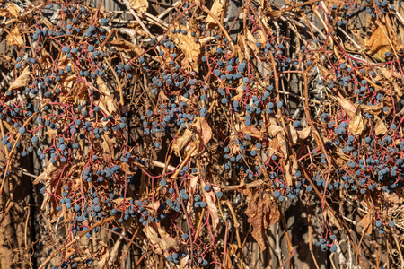 Close up dried blue berries on bush during fall.