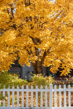 Bright yellow fall tree leaves background in yard with white picket fence.