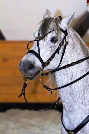 terezin: bellissimi cavalli in formazione presso la scuola di equitazione Archivio Fotografico