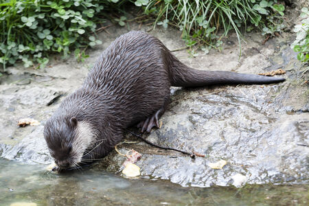 small clawed: small otter