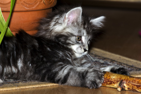 coon: Maine Coon