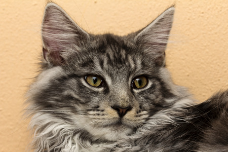 coon: main coon Stock Photo