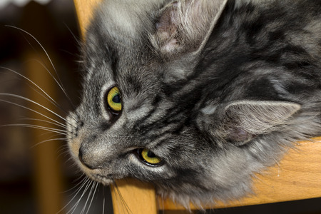Beautiful Coon cat is resting and photo
