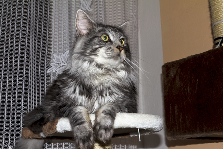 maine: beautiful young Maine Coon kitten