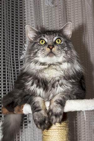maine coon: beautiful young Maine Coon kitten